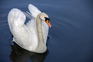 swan-319379_640